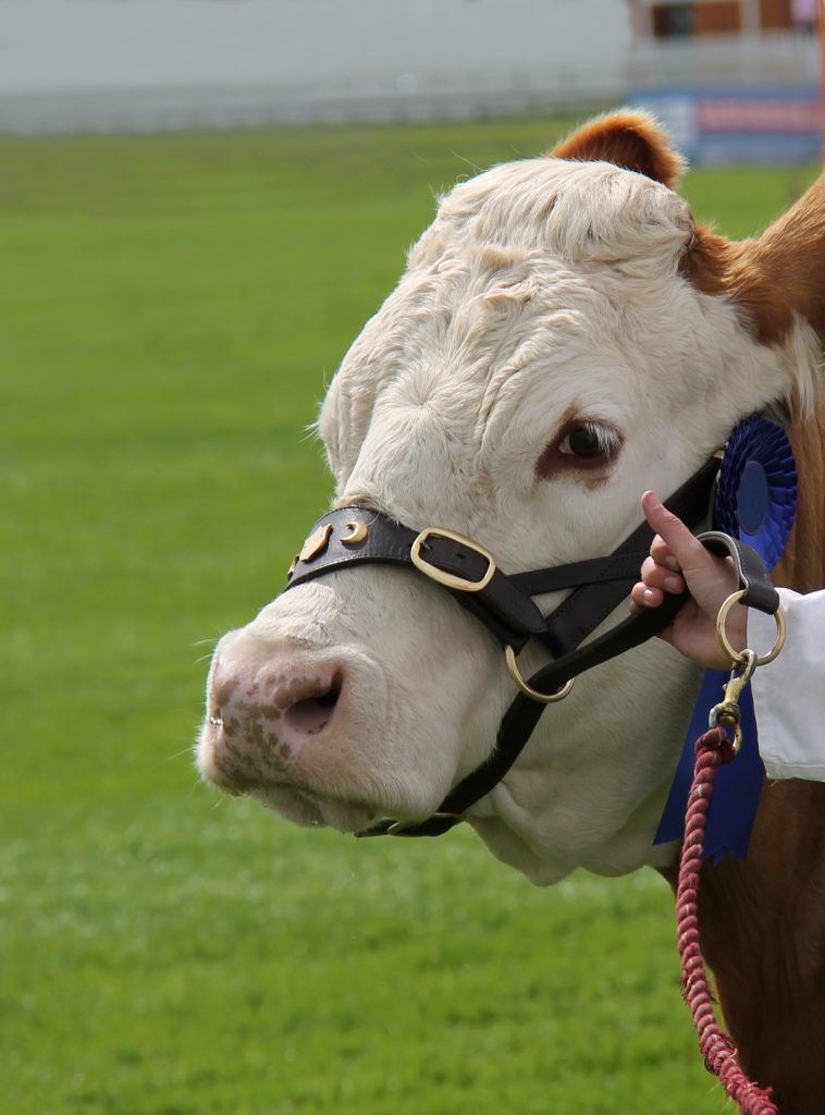 show cattle