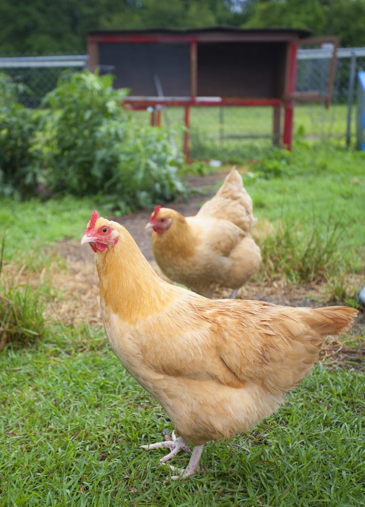Introducing New Chickens to Your Flock