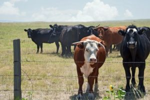 Drought Stressed Beef Cattle