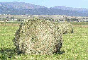 A freshly baled round bale in Montana; extreme weather conditions affect hay such as this
