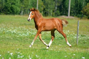 Horse foal running on a green meadow
