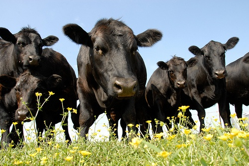 Black cattle in field waiting for cattle feeds