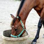 feed_horse