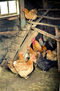 Fall Chick Tips from Farmers Coop in Van Buren, Arkansas