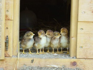 Chicks in a hen house looking outside
