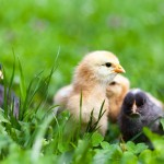 Baby chicks in grass