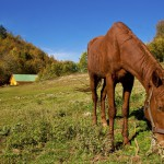 Thin horse grazing grass. Feeding Horses to Increase Weight and Body Condition