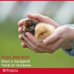 Backyard Chicks being held in hands