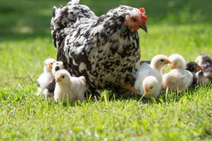 Poultry hen with her chicks in grass