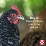 Chicken: how to keep chickens cool in the summer
