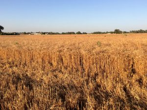 Wheat field and Wheat Grower Test Plot Results