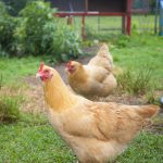 two hens; Introducing New Chickens to Your Flock