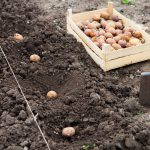 Spring Onions and Seed Potatoes at Farmers Coop
