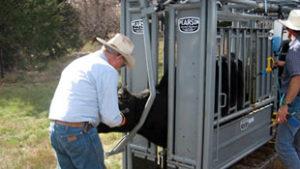 Cattle in Pearson Livestock Equipment
