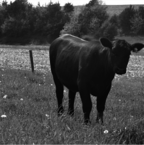 Black and white photograph of a cow in a field