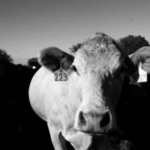 Black and white photo of a cow