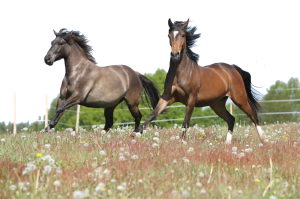 Grey and Chestnut horses galloping in field