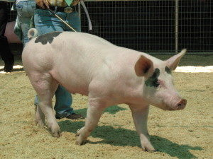 Pig being walked at show