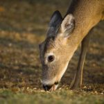 Deer eating whole corn