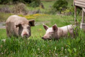 Two swine in a green field