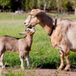 Brown goat and kid goat in field   Farmer's Coop