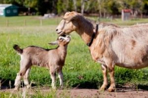 Brown goat and kid goat in field. Farmer's Coop