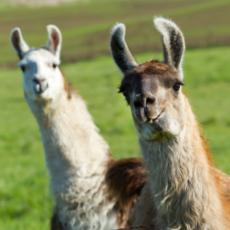 Two Llamas in a green field.