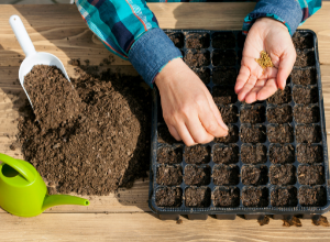 Planting seeds in seed tray.