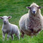 Sheep and Lamb | Farmer's Coop