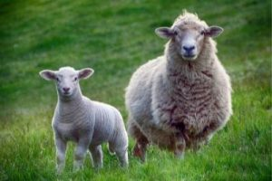 Sheep and lamb in green field.