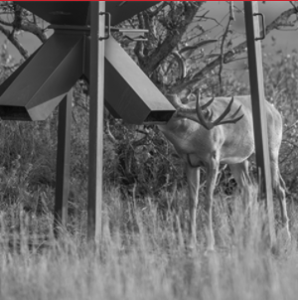 Training deer to eat from a feeder is a good way to implement a supplemental feeding program.